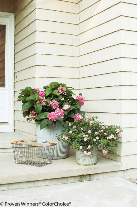 Cityline Vienna® Hydrangea | Plant Addicts on