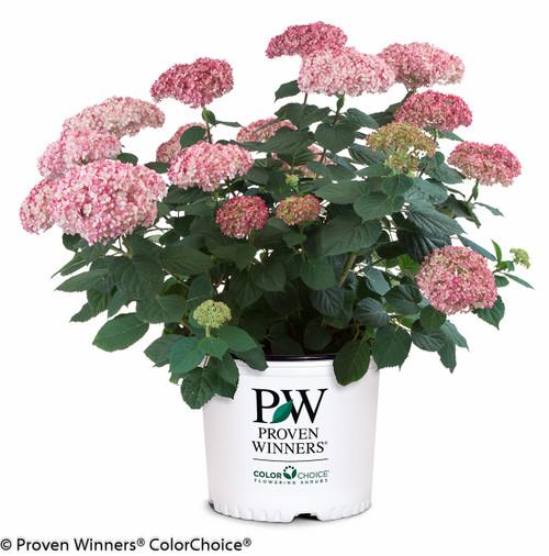 Invincibelle® Spirit II Hydrangea | Plant Addicts