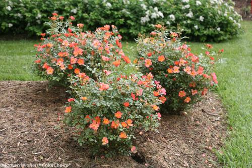 Oso Easy 174 Hot Paprika 174 Rose Bushes Plant Addicts