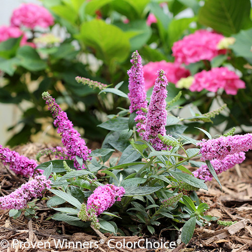 Small Lo and Behold Pink Micro Chip Butterfly Bush Flowering