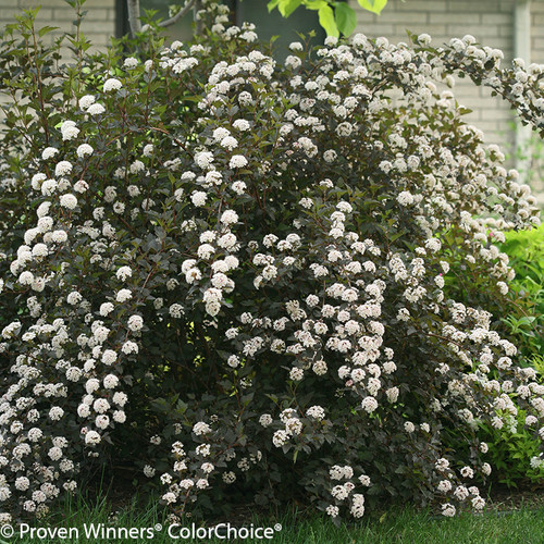 Summer Wine Ninebark Shrub Covered in Flowers