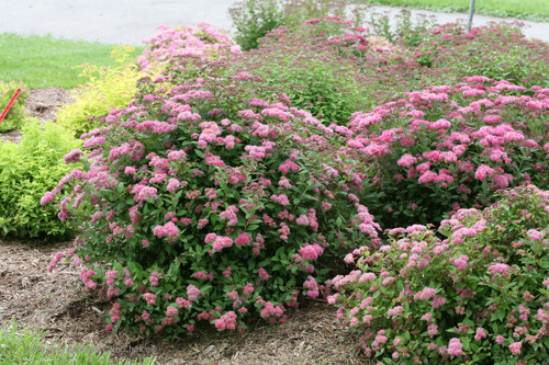 Double play pink spirea plant addicts double play pink spirea shrubs covered in flowers mightylinksfo