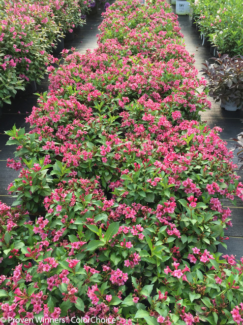 Snippet dark pink weigela plant addicts row of snippet dark pink weigela shrubs mightylinksfo