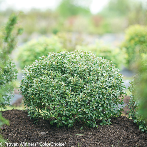 Strongbox Inkberry Holly Shrub Pruned