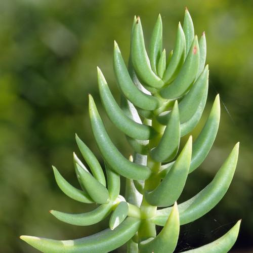 Crassula Mini Pine Tree Succulent Up Close