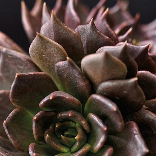 Black Prince Echeveria Succulent Up Close