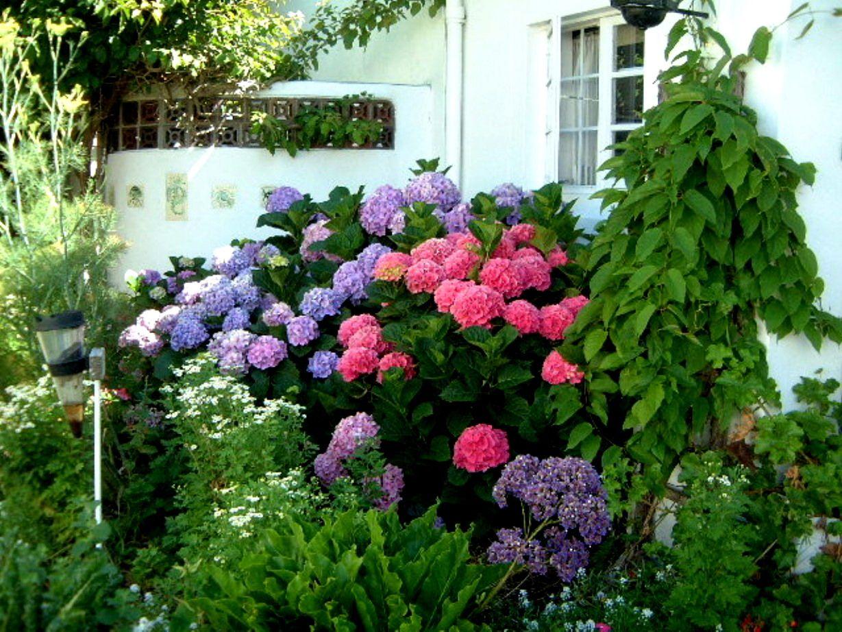 Blue Pink Hydrangea Colors on Bush