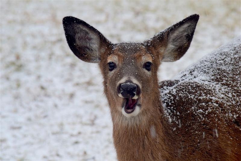 deer-eating-during-winter.jpg
