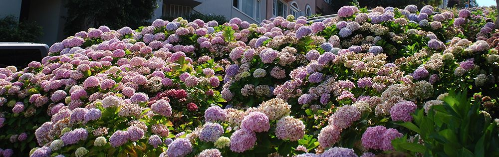 fertilizing-hydrangeas-in-san-francisco.jpg