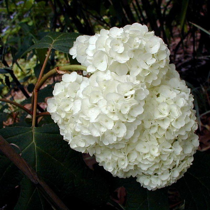 Harmony Oakleaf Hydrangea White Blooms