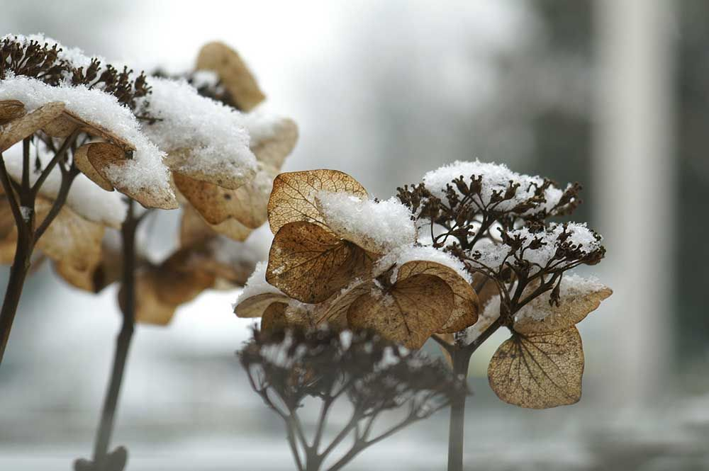 hydrangea-in-the-winter-compressor.jpg
