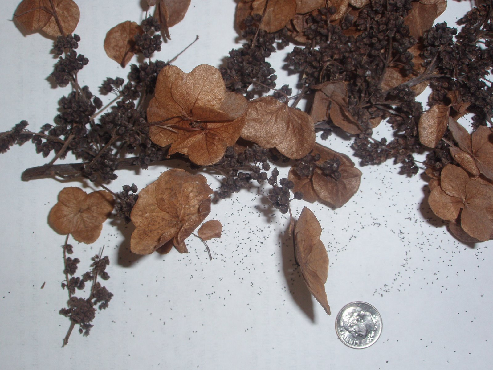 hydrangea-seeds.jpg