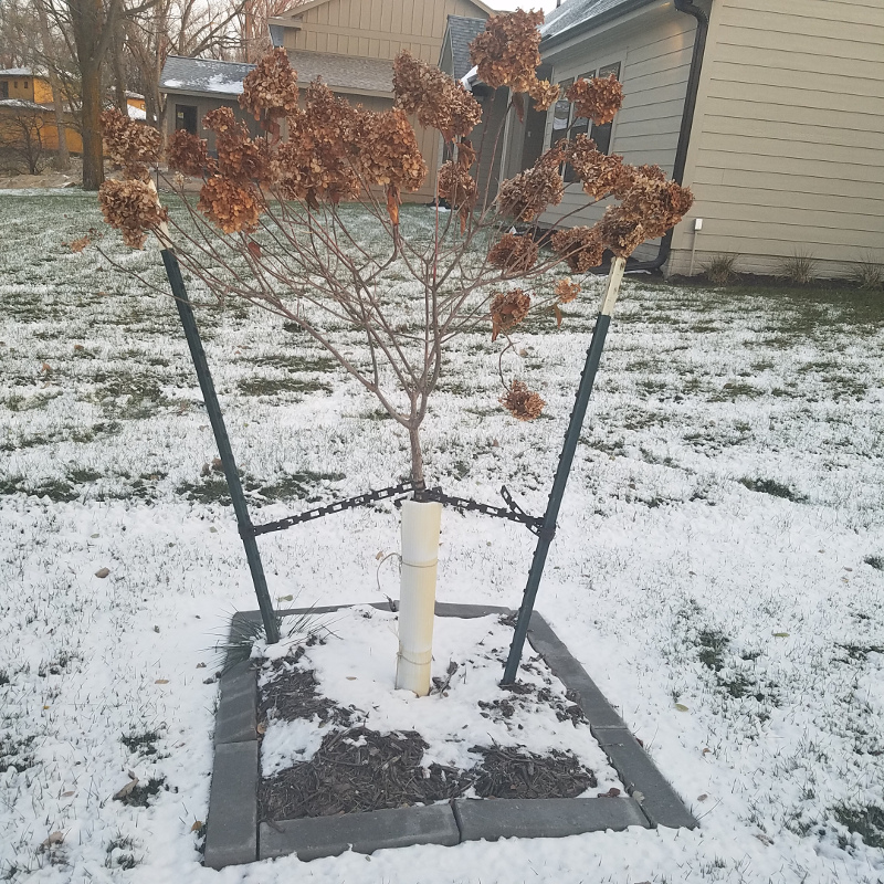 hydrangea-tree-in-winter-with-extra-protection.jpg