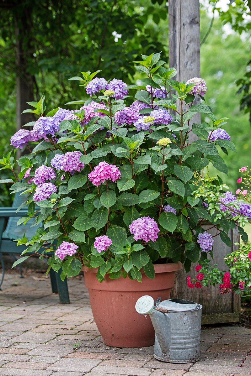 large-macrophylla-hydrangea-growing-in-terra-cotta-pot-on-the-patio.jpg
