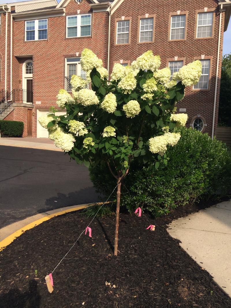 Hydrangea Tree Care Plant Addicts