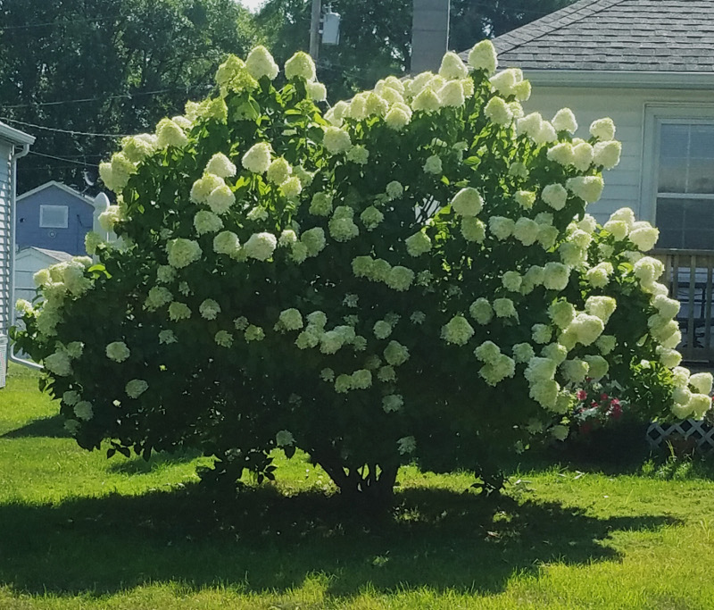 mature-limelight-hydrangea-tree-covered-in-blooms.jpg