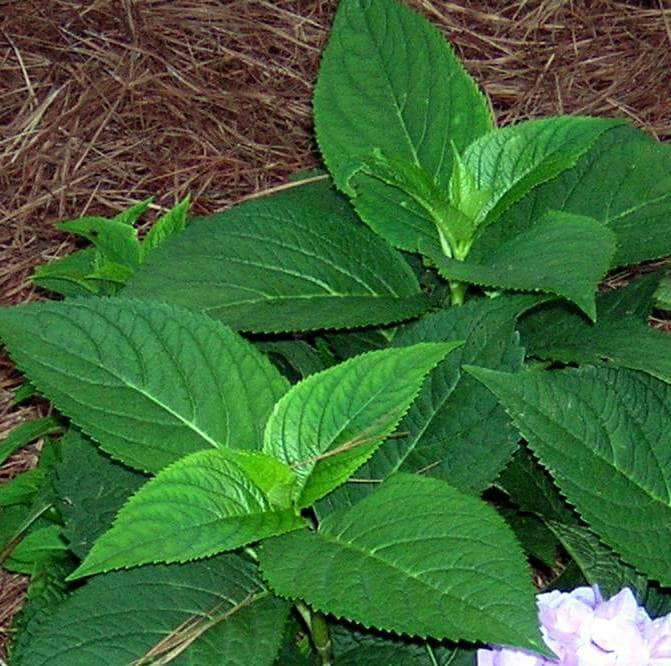 Mophead Hydrangea Leaves