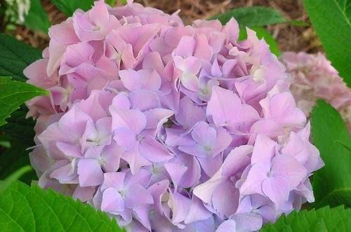 Mophead Hydrangea Hydrangea Macrophylla Plant Addicts