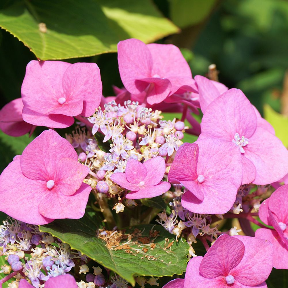 mountain-hydrangea-cropped-compressor.jpg