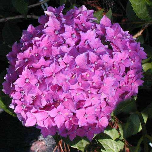 Pia Hydrangea Pink Bloom