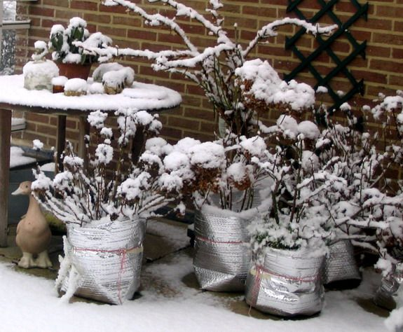 protecting-a-potted-hydrangea-in-winter-with-insulation-compressor.jpg