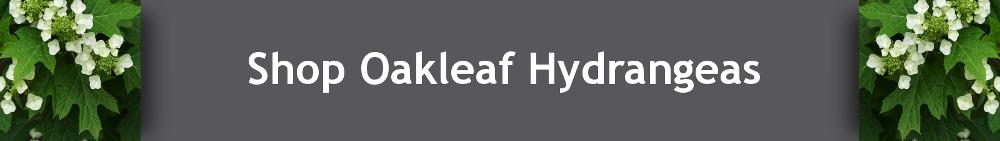 Buy Oakleaf Hydrangeas Online