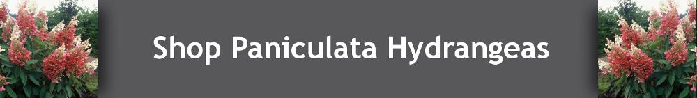 Buy Paniculata Hydrangeas Online