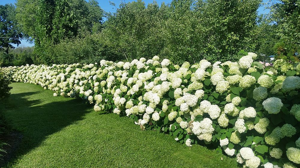 smooth-hydrangea-hedge-compressor.jpg