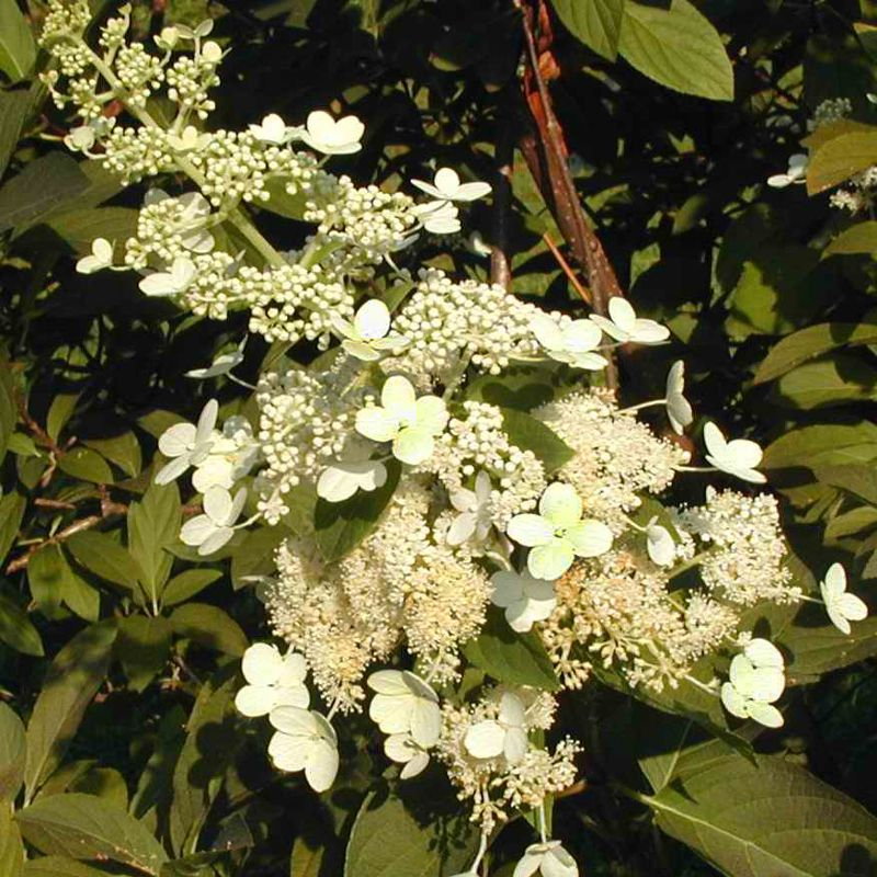 Tardiva Hydrangea Flowers