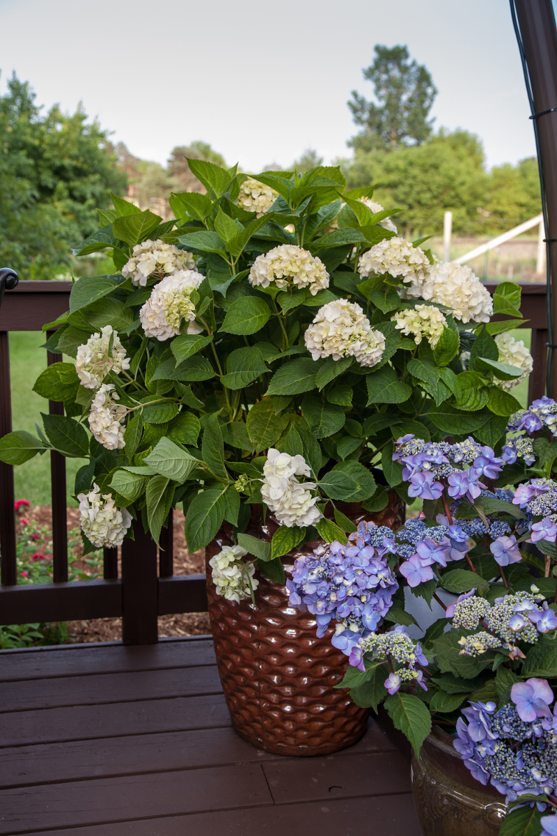 Growing Hydrangeas In Planters Plant Addicts