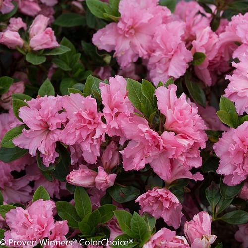 Bloom A Thon 174 Pink Double Azalea Shrubs Plant Addicts