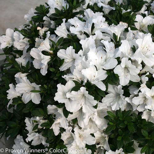 Bloom A Thon 174 White Azalea Shrubs Plant Addicts