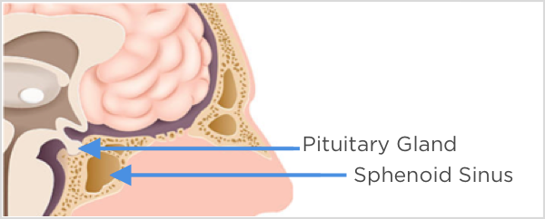 Pituitary Gland and Sphenoid Sinus
