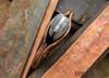 Great Eastern Cutlery: Tidioute - #15 Farmboy's Knife - Gabon Ebony