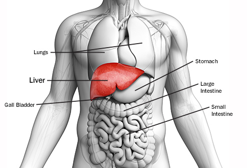 493ss-getty-rf-liver-anatomy-illustration.jpg