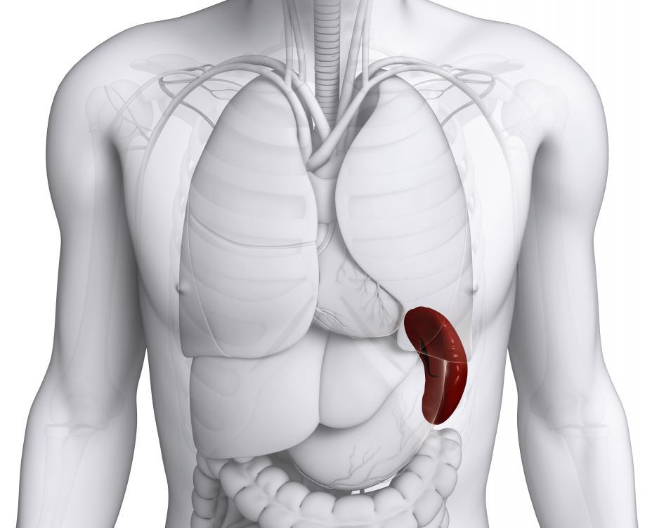 spleen-highlighted-on-body.jpg