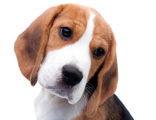 You think you want a Beagle?