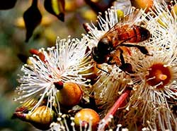 eucalyptus-honey.jpg