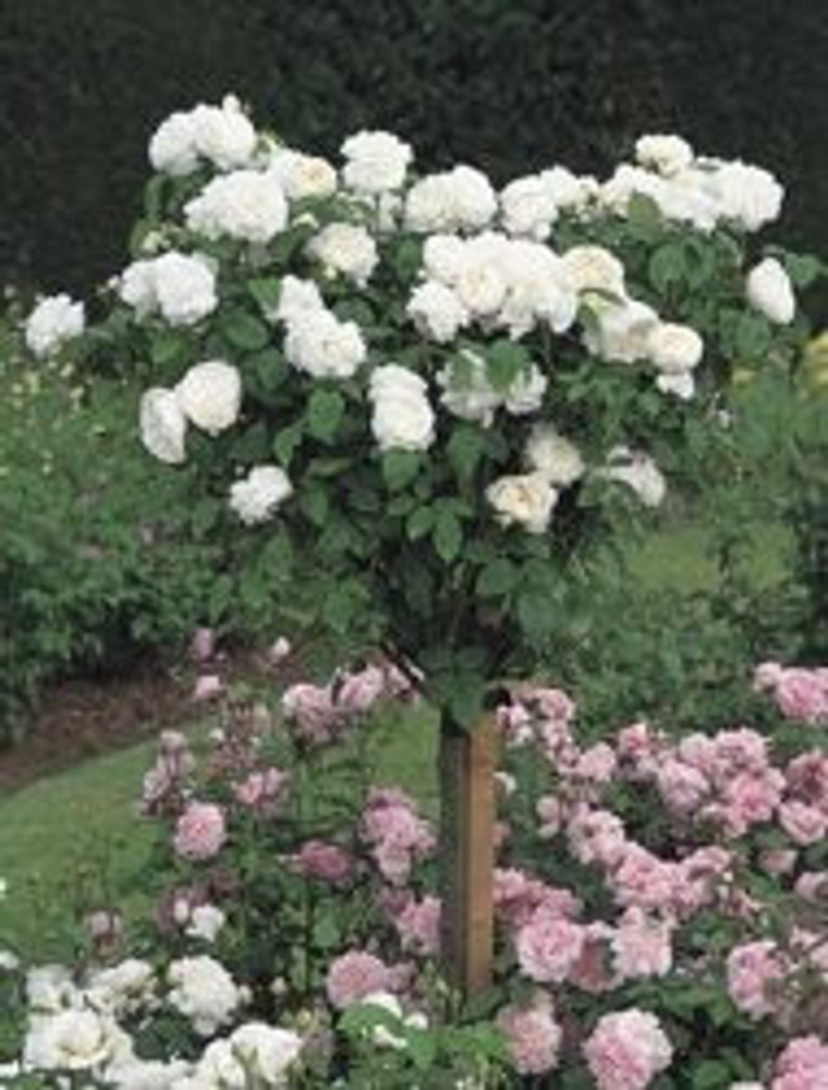 David Austin English Tree Rose: Winchester Cathedral