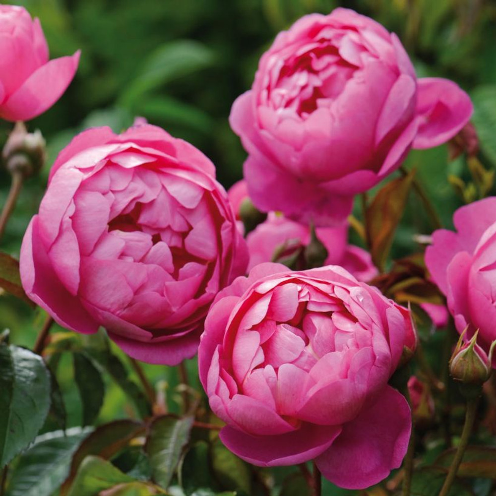 Royal Jubilee David Austin English Rose