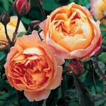 Lady Emma Hamilton David Austin Rose