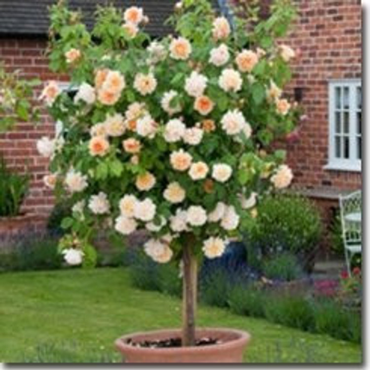 David Austin English Tree Rose: Grace