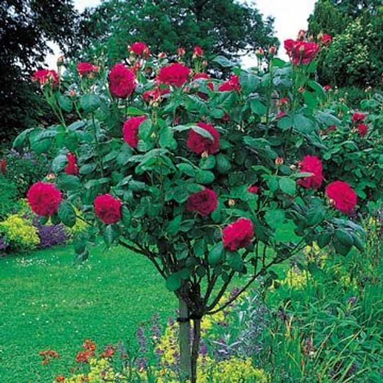 David Austin English Tree Rose: L D Braithwaite