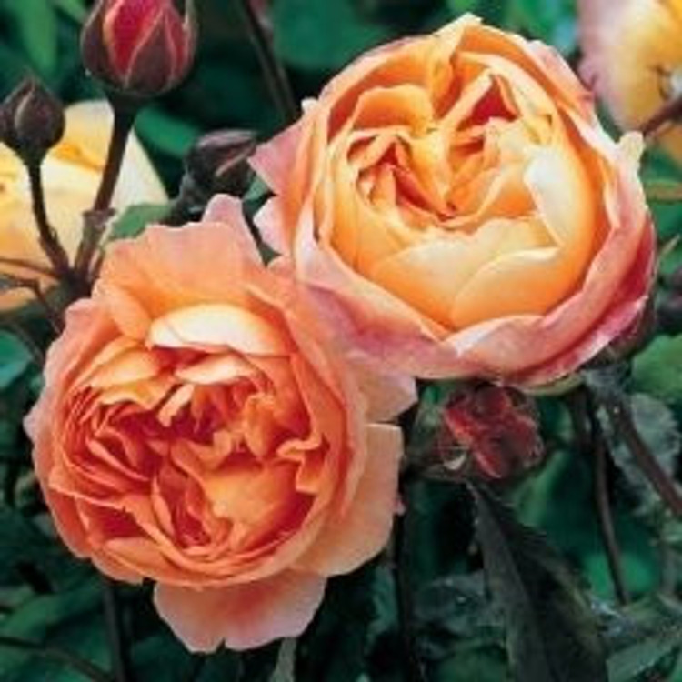Lady Emma Hamilton - David Austin English Roses
