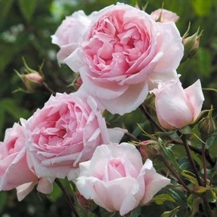 The Wedgwood Rose - David Austin English Roses