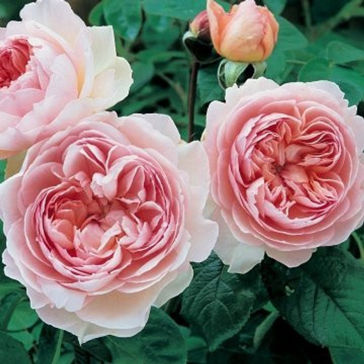 Gentle Hermione - David Austin English Roses