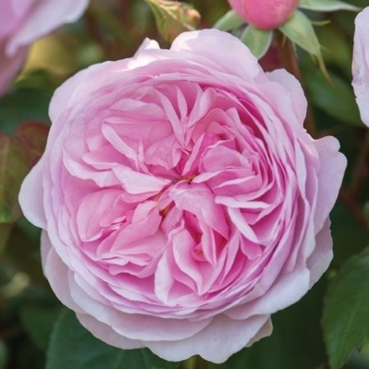 Olivia Rose Austin - New for 2016- David Austin English Roses