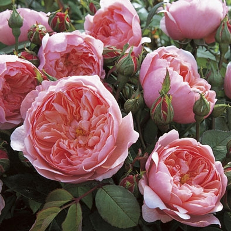 The Alnwick Rose - David Austin English Roses