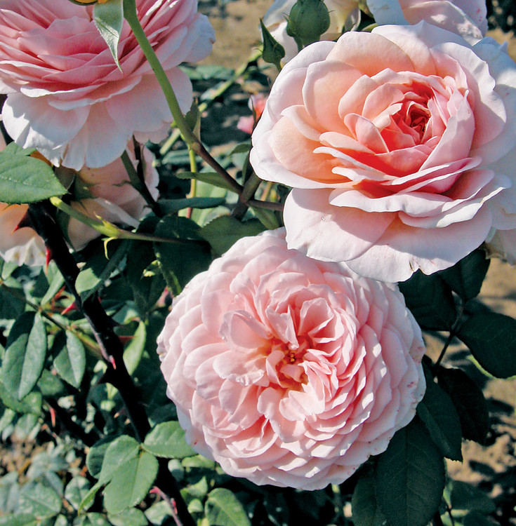 William Morris David Austin Rose