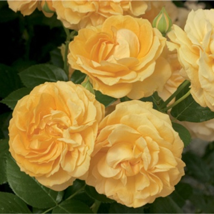 Julia Child Shrub Rose